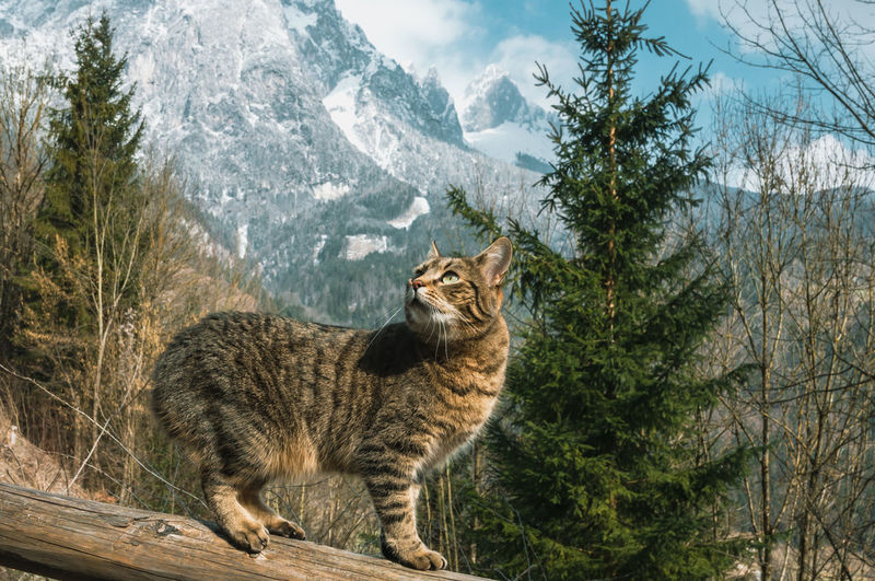 Tabby cat stands on the background of snowy mountain peaks. austria