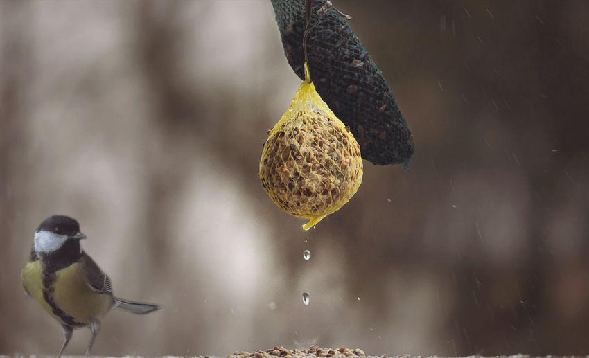 Great tit perching by bird feeder