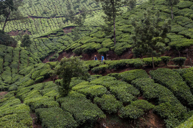 Distant view of friends walking amidst tea crops