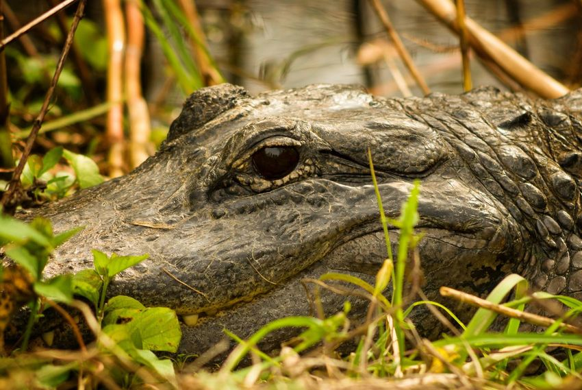 Portrait Nature First Alligator Animal Animal Body Part Animal Eye Animal Head  Animal Themes Animal Wildlife Animals In The Wild Close-up Looking Nature One Animal Outdoors Reptile Selective Focus