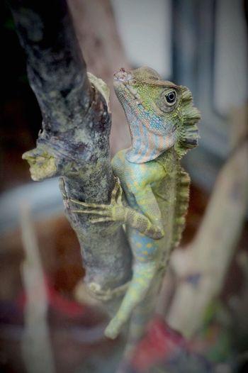 Reptile Nature Close-up Malaysia
