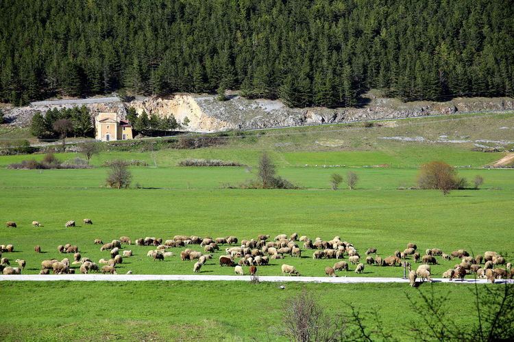 Flock of sheep in the green under the tree-lined mountain, abruzzo, italy