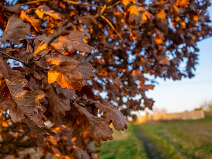 Close-up of dry maple leaves on field