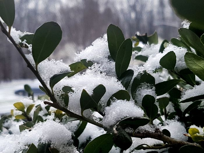 Outdoor Snow Covered Leaf Close-up Plant