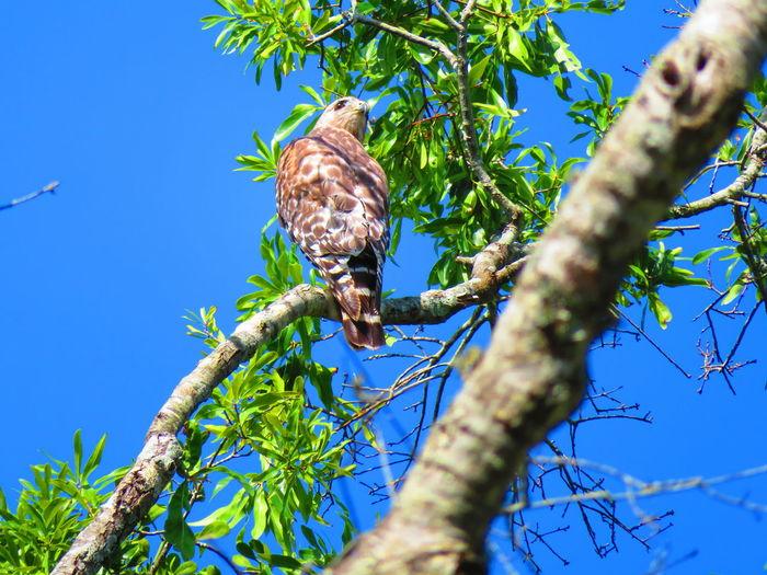 Wild hawk Florida Life Florida Hawks Hawk Hawk - Bird Tree Perching Branch Iguana Bird Blue Sky Close-up