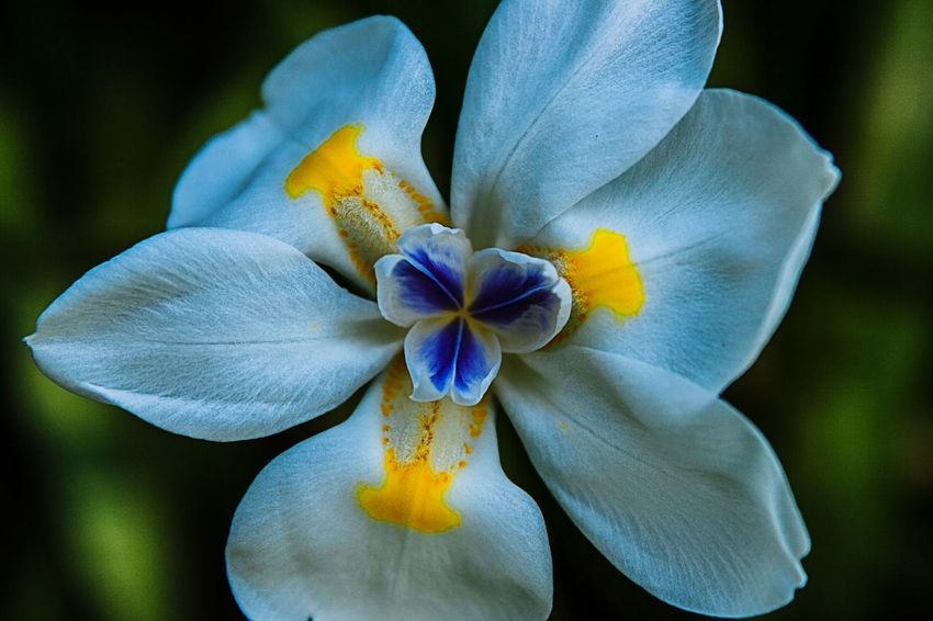 Flower Flowers Flower Head Flower Collection Petal Gental Pop Poppy Lilly Flower Flower Head Petal Fragility Beauty In Nature Nature Plant Close-up Freshness Springtime Blue Iris - Plant No People Outdoors Day