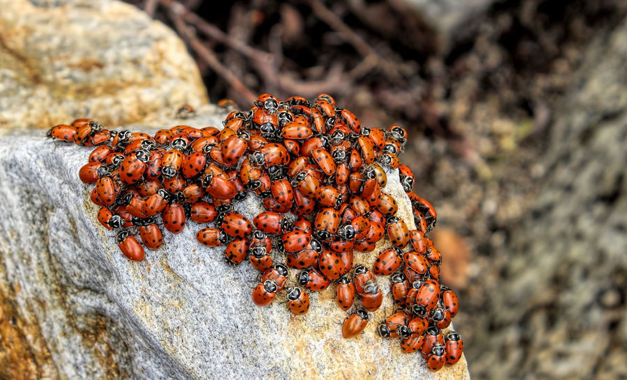 Ladybirds 🐞 Animal Themes Animal Wildlife Animals In The Wild Close-up Focus On Foreground Insect Ladybugs Everywhere Ladybugs Photography Large Group Of Animals Nature No People Outdoors