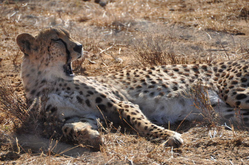 Animal Themes Animals In The Wild Aquila Game Reserve Big Cat Cheetah Day Feline Mammal No People One Animal Outdoors Yawning