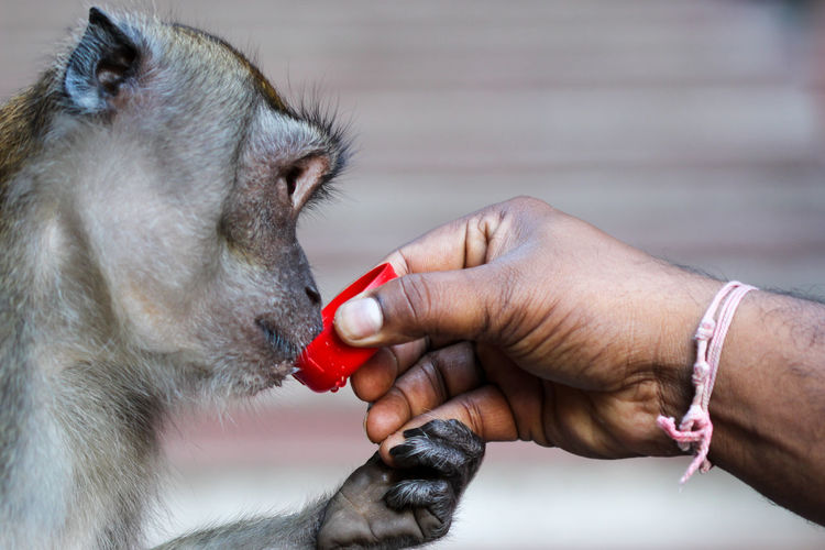 Close-Up Of Hand Giving Drink To Monkey