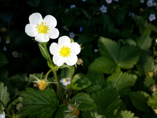 Wild Strawberry Flowers - Fragaria vesca Fragaria Vesca Wild Strawberry Flowers Beauty In Nature Close-up Day Flower Flower Head Flowering Plant Focus On Foreground Fragility Freshness Green Color Growth Inflorescence Leaf Nature No People Outdoors Petal Plant Plant Part Pollen Vulnerability  White Color Wild Strawberry Plants