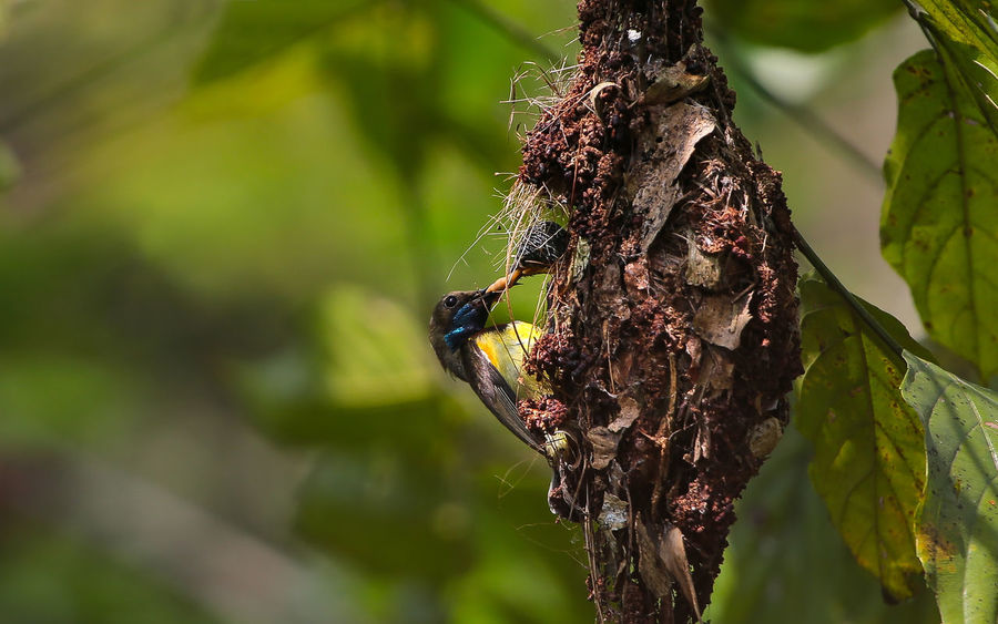Olive-backed sunbird, Yellow-bellied sunbird Olive-backed Sunbird EyeEm Best Shots EyeEm Nature Lover Family Yellow-bellied Sunbird Animal Animal Themes Animal Wildlife Animals In The Wild Birds Day Green Color Insect Leaf Nature Outdoors Tree Trunk