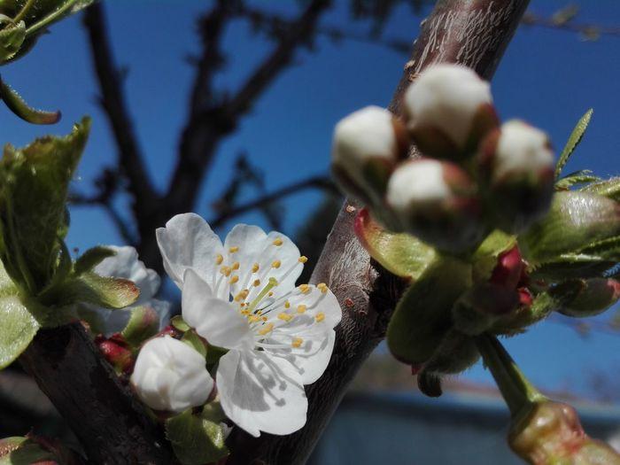 EyeEmNewHere EyeEm Nature Lover Spring Flowers Flower Flower Head Tree Branch Close-up Sky In Bloom Plant Life Stamen Petal Pollen Blooming