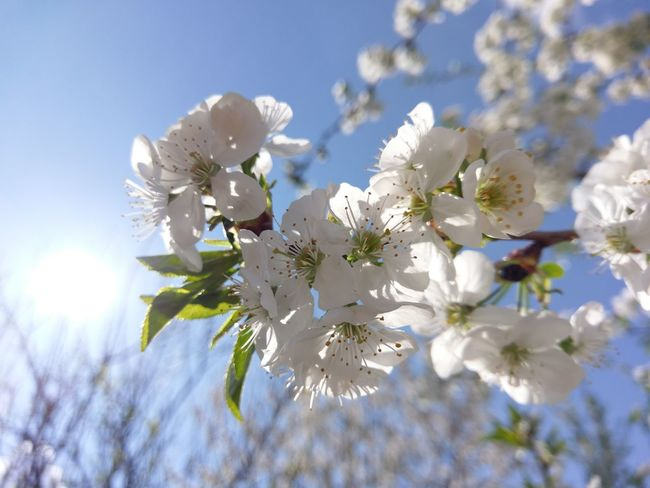 Growth Plant Blossom Nature Flower Almond Tree Springtime Tree Branch Beauty In Nature Close-up Sky Flower Head No People Day Outdoors