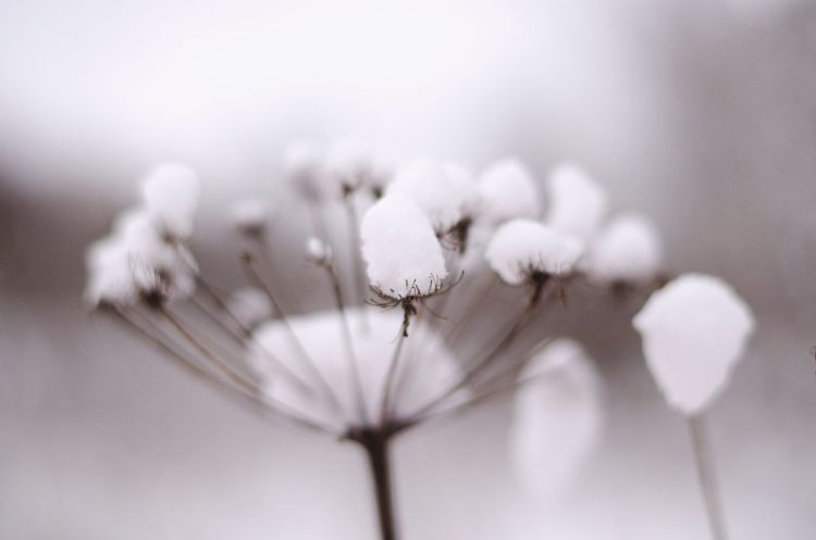 Nature White Color Fragility Flower Close-up Cotton Plant Beauty In Nature Plant Flower Head No People Growth Outdoors Day Freshness Umbrella Plant Snow ❄