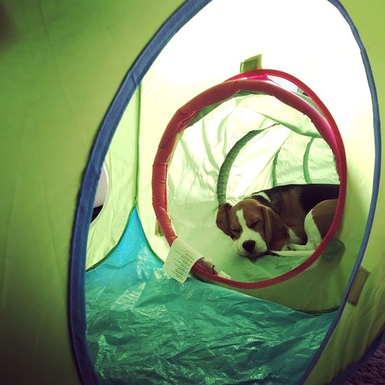 Close-up Indoors  Day Tent Tunnel Toy Dog Sleeping Resting Sleeping Dog Cozy Place Safe Place Feeling Cozy Feeling Safe Beagle Puppy Sweet Dreams Green Color Green Pet Portraits