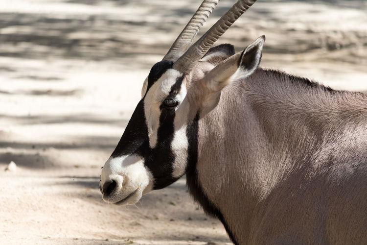 Close-up of gemsbok standing outdoors