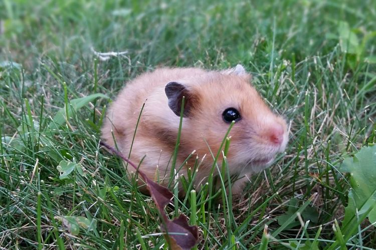 Nikki, my tiny hamscaper Hamster Syrian Hamster  Cute Cute Pets Pet Photography  Pet Love Green My Hamster
