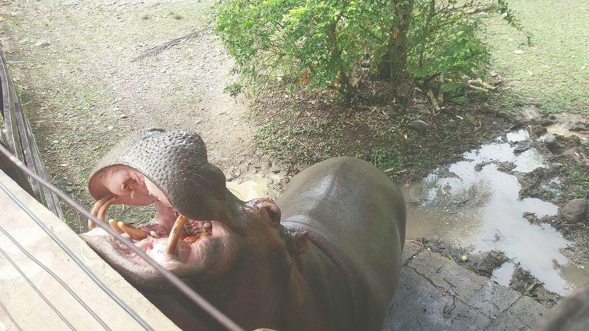 Hipopotam Hipopotamó Animal Animales Vanessa Napoles Naturaleza Plantas Arboles EyeEm Selects
