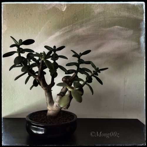 Jadeplant Nature Bonsaitree Bonsai Shohin Crassula Ovata Moneytree