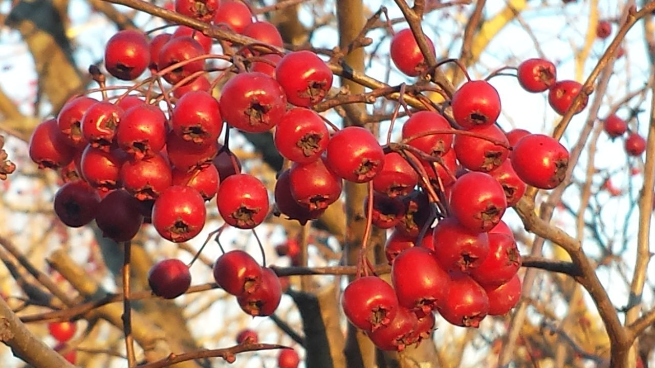 tree, red, growth, focus on foreground, food and drink, rowanberry, day, growing, fruit, outdoors, nature, no people, close-up, beauty in nature, food, low angle view, branch, freshness