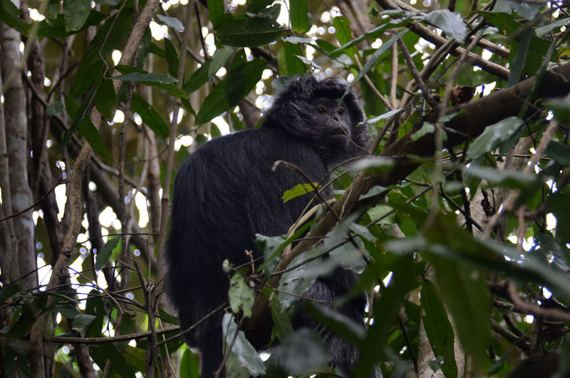 The Java Lutung Java Lutung Animal Animal Themes Animal Wildlife Animals In The Wild Branch Day Leaf Low Angle View Mammal Nature No People One Animal Outdoors Plant Plant Part Primate Sitting Tree Vertebrate Zoology