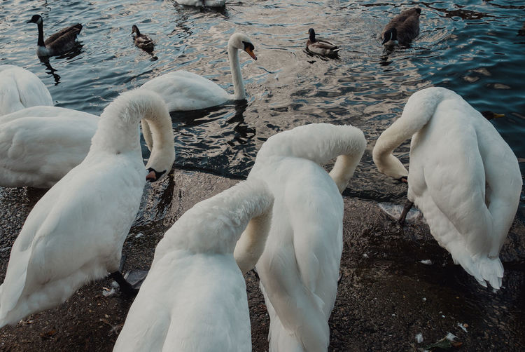 View of swans in lake