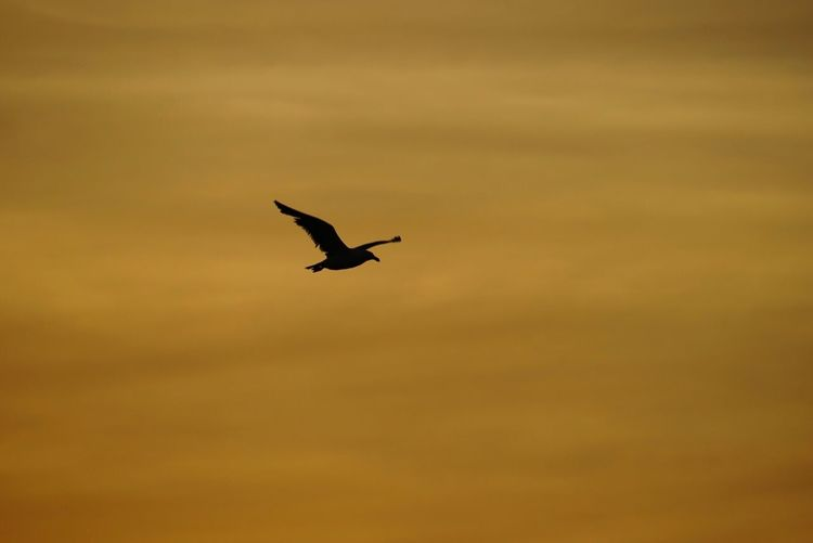 Seagull flight during sunset Bird Sunset Flying One Animal Animals In The Wild Animal Themes Sky No People Low Angle View Spread Wings Outdoors Nature Day Nature Sony Sonyalpha Sonya7