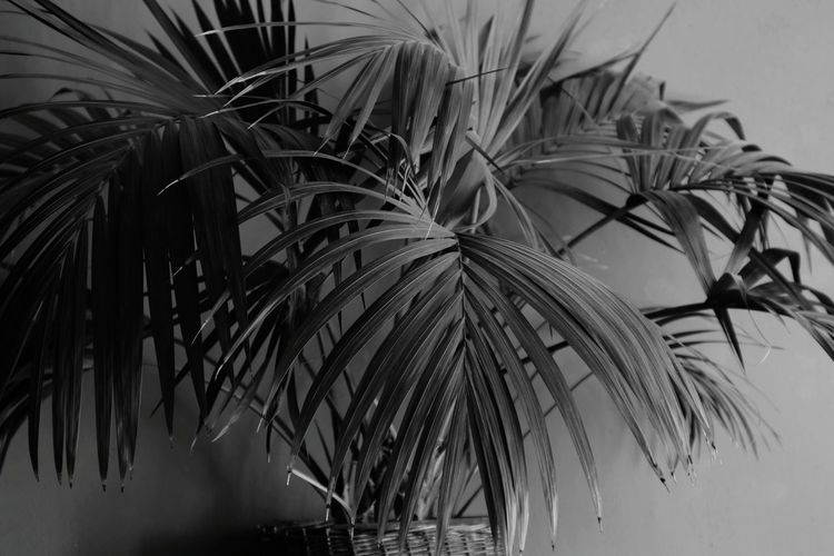 My palm Palm Palm Leaves Black And White Leaf Close-up Palm Leaf