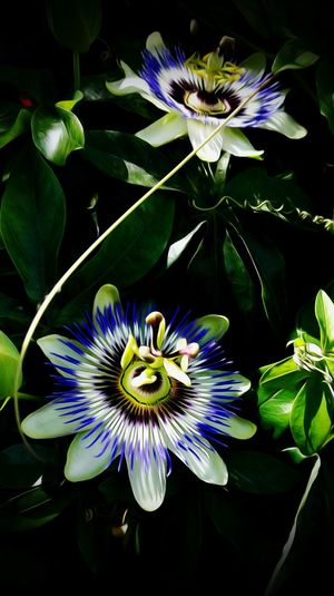 Flower Flower Head Petal Plant Beauty In Nature Fragility Growth Freshness Nature No People Close-up Outdoors Beauty In Eyem Gallery Mobile Photography EyeEm Blossom Stamen Passion Flower Black Background Day