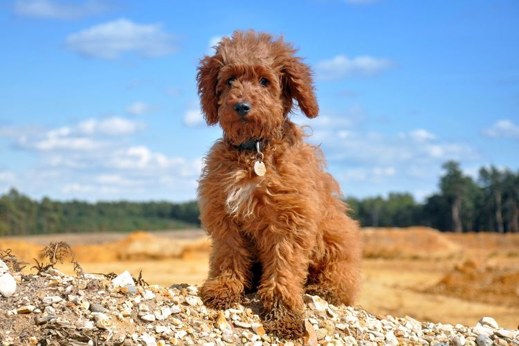 Labradoodle sitting on field against sky