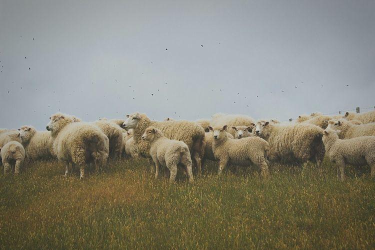 Enjoying Life Travel Photography New Zealand Paua Bay Sheeps Nature Sheperd Farmlife