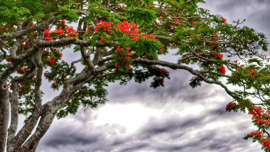 Scanaki Just4fun Photography Nikon D5100  Flamboyant Nature Flowers Tree NikonD5100 EyeEm Best Sellers Popular Photos Trees In Reunion Check This Out Taking Photos Walking Around Mybestreunionislandphotos Reunion  Naturelovers Colorful Ride Dramatic Sky Red Grey Sky Green Minimalist Perspectives On Nature The Traveler - 2018 EyeEm Awards The Creative - 2018 EyeEm Awards