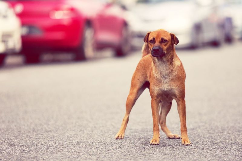 Brown dog on road