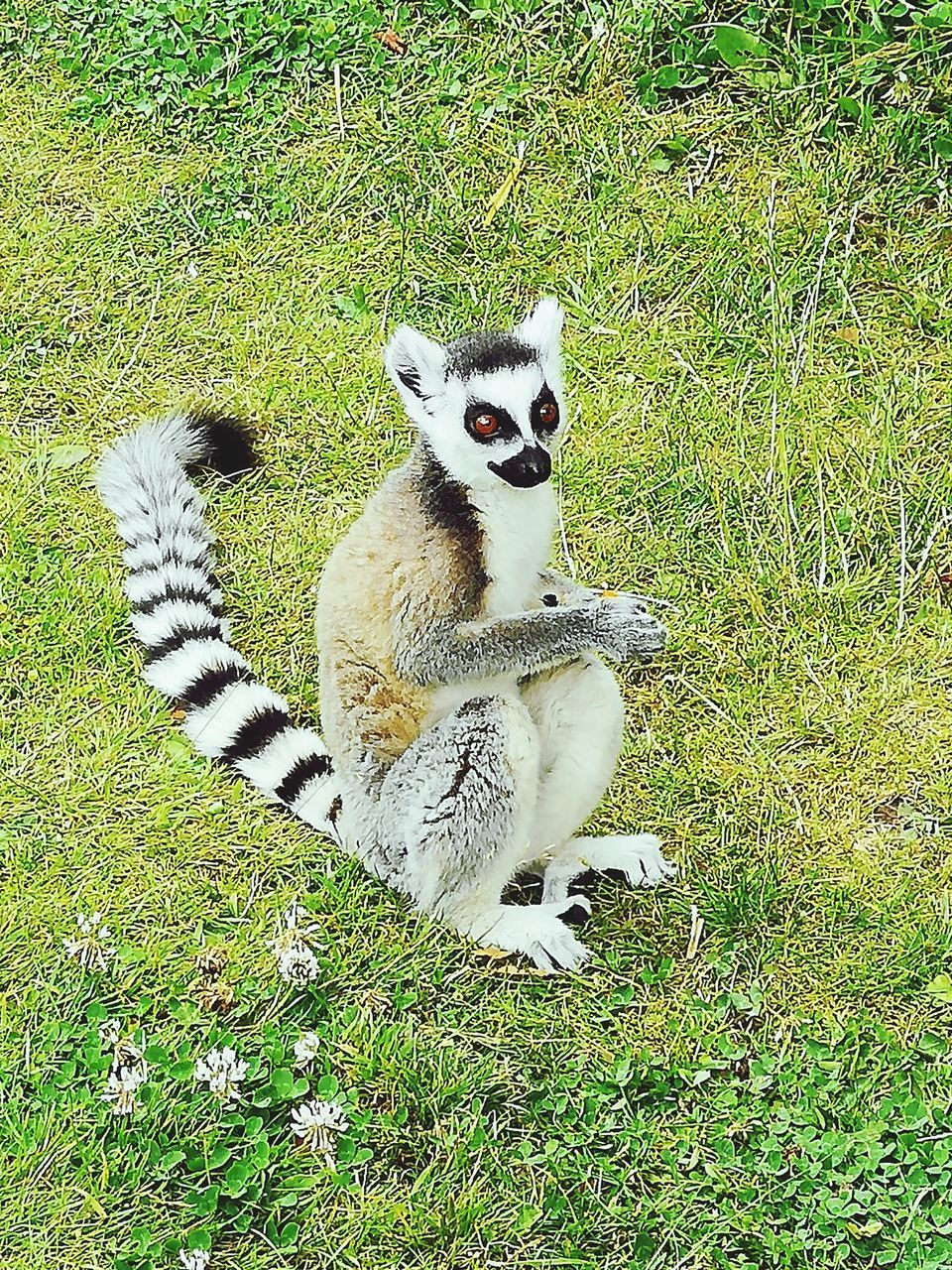 plant, grass, mammal, field, lemur, green color, one animal, land, nature, vertebrate, no people, portrait, animal wildlife, sitting, day, animals in the wild, looking at camera