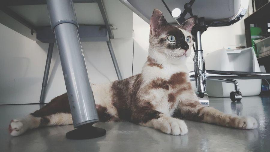 Indoors  Cat Cat Lovers Kitty Kitten Domestic Animals Domestic Cat Pet Pet Love