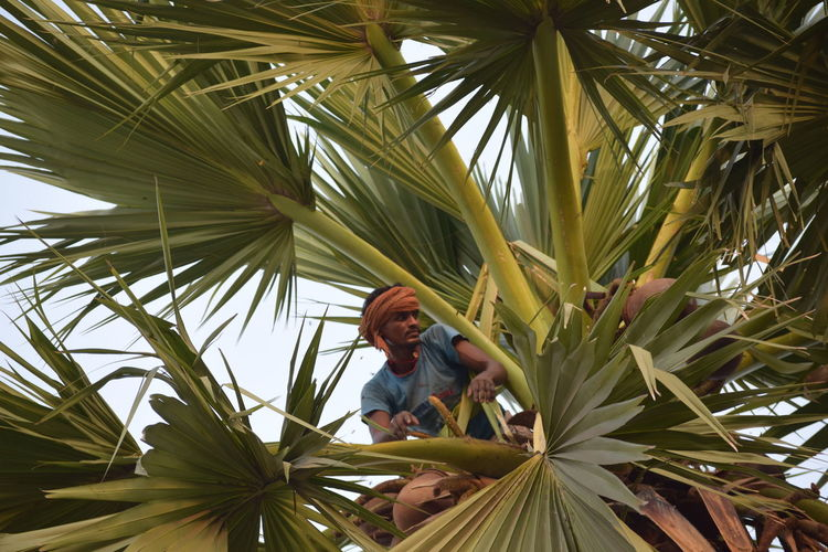 Palm Tree Tree Low Angle View Growth Leaf Agriculture Outdoors Day Full Length Adventure One Person One Man Only Adults Only Adult Only Men Nature People Climbing Sky