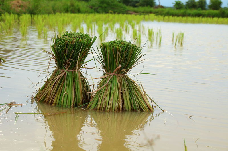 Reflection Water Nature Outdoors Beauty In Nature Grass No People Backgrounds Day Rice Farm Rice Field Rice Growth Asian Farmer