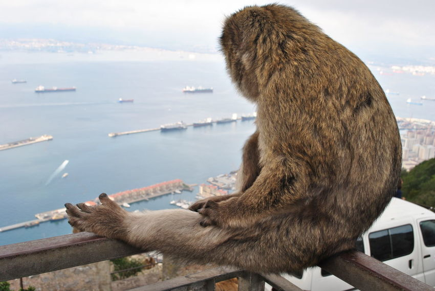 Maggot wants a break Animal Animal Themes Animal Wildlife Animals In The Wild Barbary Macaques Day Endangered Species Endemic Gibraltar Macaque Maggot Mammal Monkey Nature No People One Animal Outdoors Photography Sea Sky Water