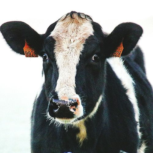 Ce regard ... Animal Head  Animal Themes Animal Body Part Portrait Looking At Camera One Animal Mammal Close-up Animal No People Domestic Animals Day Nature Indoors  Etonnement Vache Cow