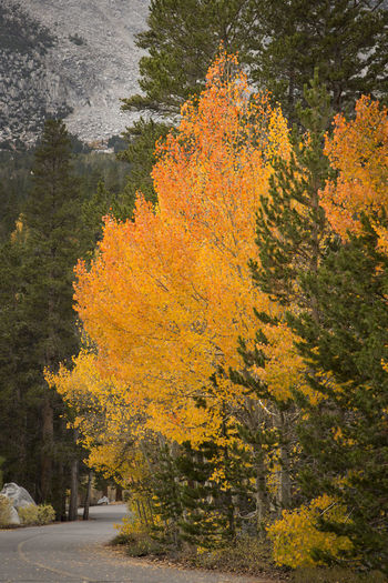 Autumn colors Autumn Tree Beauty In Nature Orange Color Tranquility Forest Outdoors Land Scenics - Nature Direction Autumn Collection No People Aspen Trees Road Vertical Composition Eastern Sierras, CA Rock Creek Canyon Landscape