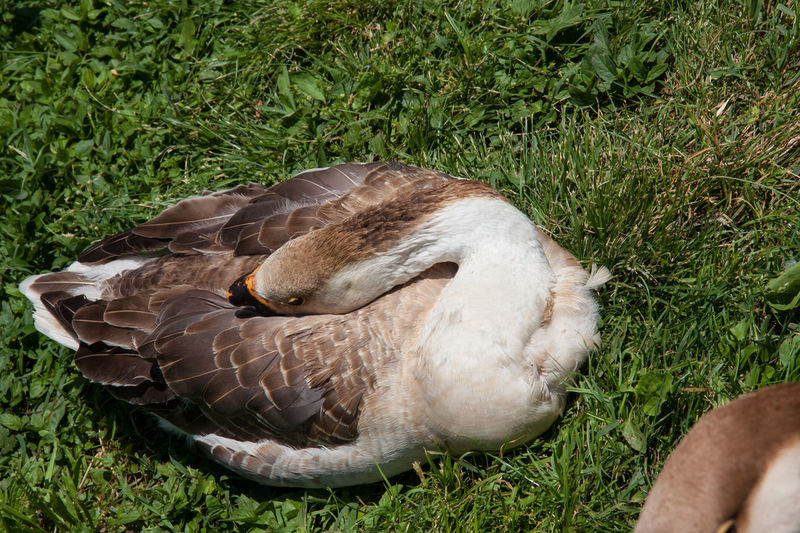 Close-up of duck relaxing on grass