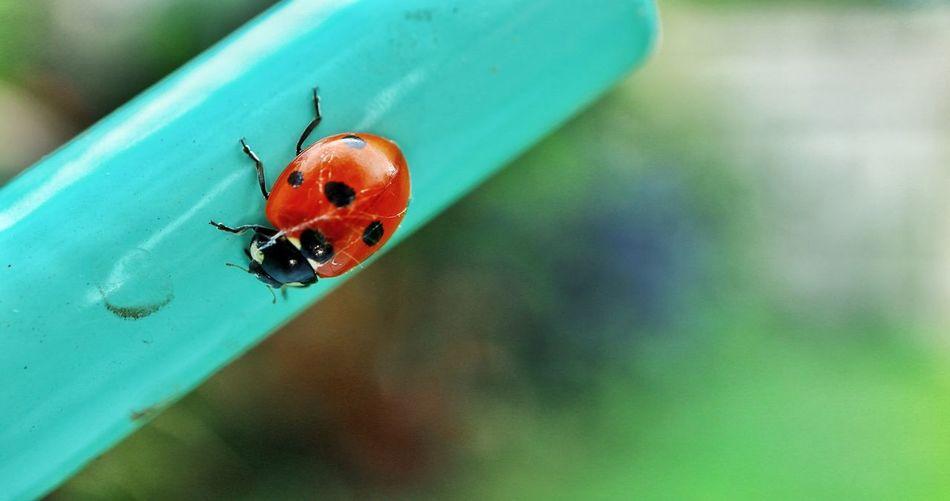 Ladybird //