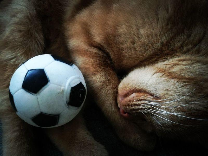 Pets Dog Soccer Soccer Ball Sleeping Close-up