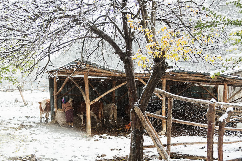 Village Snow Architecture Bare Tree Barn Beauty In Nature Branch Building Exterior Cattle Cold Temperature Cow Day Feeding Animals Fencepost Fencing Nature No People Outdoors Sky Snow Sünnetköy Tree Turkey Winter Winter Wintertime