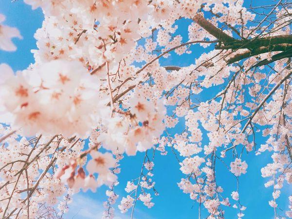 Cherry Blossoms Sakura Spring EyeEm Best Shots EyeEm Sky Nature