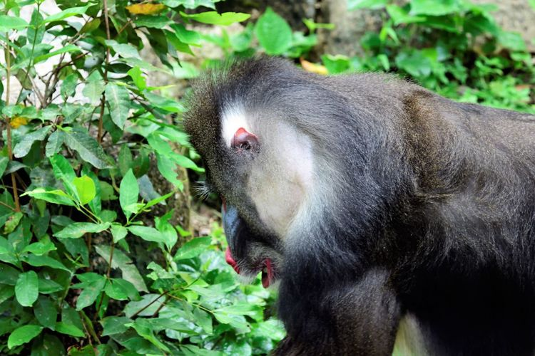 Wildlife and forestry Animal Animal Head  Animal Themes Animal Wildlife Animals In The Wild Ape Close-up Day Focus On Foreground Green Color Leaf Mammal Monkey Mouth Open Nature No People One Animal Outdoors Plant Plant Part Primate Vertebrate