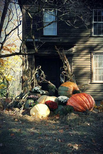 Harvesttime 3. Pumpkins And Cornstalks Day Autumn Decorative Front Door Close-up Door No People Outdoors Windows EyeEm Gallery EyeEm Best Shots Deerfield, MA Edit No. 3 S6
