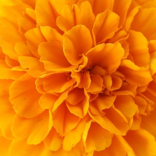 Marigold Flower. Huaweiphotography Huawei P9 Photos Huaweip9photos Huawei P9. HuaweiP9 HuaweiP9Photography Huawei P9 Leica Flower Photography Flower Flowers