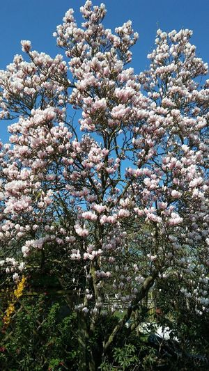 Flower Tree Sky Close-up Grass Blossom Botany Magnolia