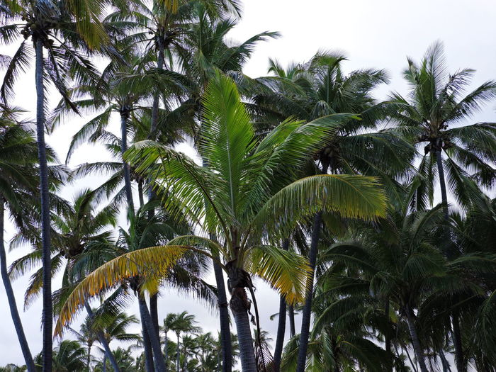 Day Green Growth Leaf Nature No People Outdoors Palm Tree Sky Tree Tropical Climate